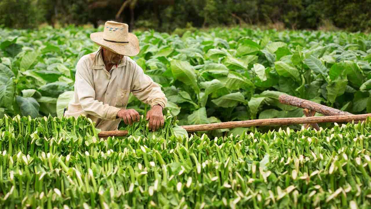 Agricoltore tabacco