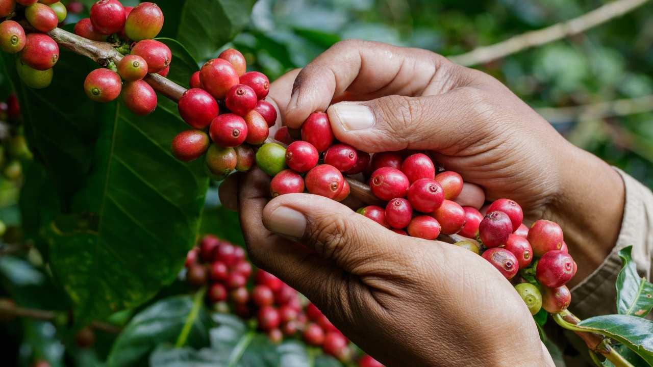frutto caffè